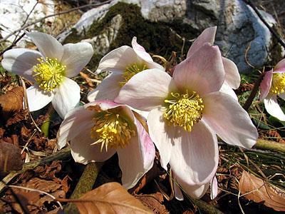 Elleboro nero helleborus niger for Elleboro bianco