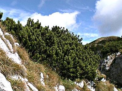 Good 02 Pino Mugo Sulla Cresta Occidentale Del Monte Tersadia