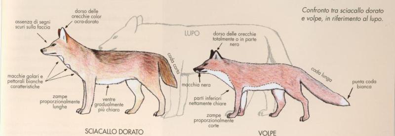 Friuli: il ritorno dello sciacallo avvistato anche in Carnia